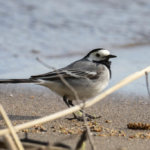 Kevät on hyvä aika aloittaa lintujen seuranta ja osallistua haasteeseen