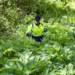 Jättiukonputkien kanssa ei ole leikkimistä – niiden hävittäminen vaatii hyvän suojautumisen
