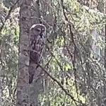 Siikanevan retkeilijät löysivät taukopaikakseen lapinpöllön olohuoneen