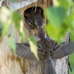 Pikkuvarpusen poikaset tutkivat jo uteliaina maailmaa, mutta vielä vain pöntön suojista