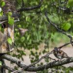 Räkättirastas hautoo vielä yläkerrassa, pikkuvarpusten poikaset jo kasvavat pöntön puolella