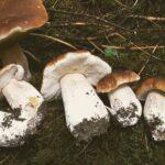Sienisesonki painaa päälle – herkkutatteja ja kantarelleja runsaasti metsissä