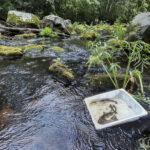 Leppähampaan reitin koekalastus kertoi, että taimen lisääntyy siellä ainakin paikoin luontaisesti