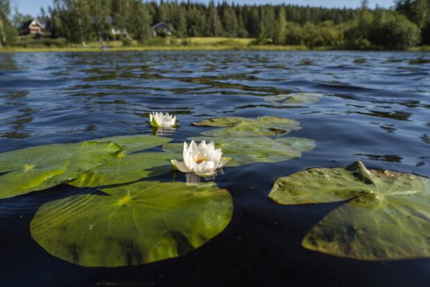 Nuottajärvi lumpeenkukka