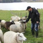 Punaisen Pässin tilan lampaat käyvät kesätöissä Metsähallituksella – vielä viisi vuotta sitten juupajokelaisten Jussi Uusi-Rauvan ja Piia Mäen tilalla oli lehmiä