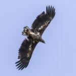 Lintujen kevätmuutto on alullaan – merikotkia liikkuu Orivedenkin seudulla