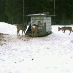 Riistan talviruokinta vähentää kolaririskiä ja auttaa pienet sorkkaeläimet talven yli – haittaeläinten pyyntikin helpottuu