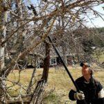 Meneekö karvalakki heittäen omenapuun läpi? – kokenut puutarhuri neuvoo, mitä omenapuulle pitää keväällä tehdä