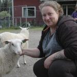 Järvensivun tilalla voi seurata paimennusnäytöksiä – omassa puodissa on tarjolla tilalla tuotettua naudan- ja lampaanlihaa