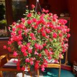 Lukijan kuva: Punainen unelma ihastutti kesällä